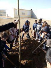 Els infantss del cicle mitjà de l'escola pública Mont-roig de Balaguer planten les moreres al pati de l'escola. El primer repte per tenir ombra.
